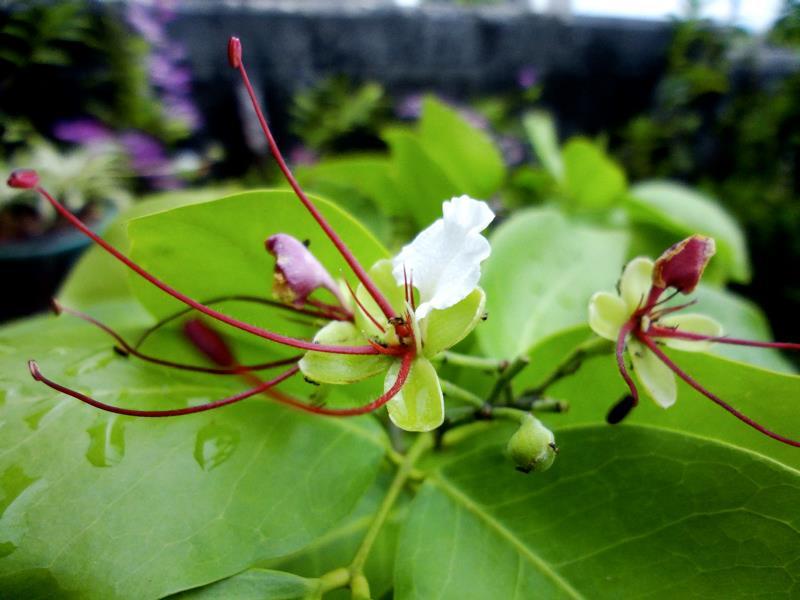 ifit flower intsia bijuga