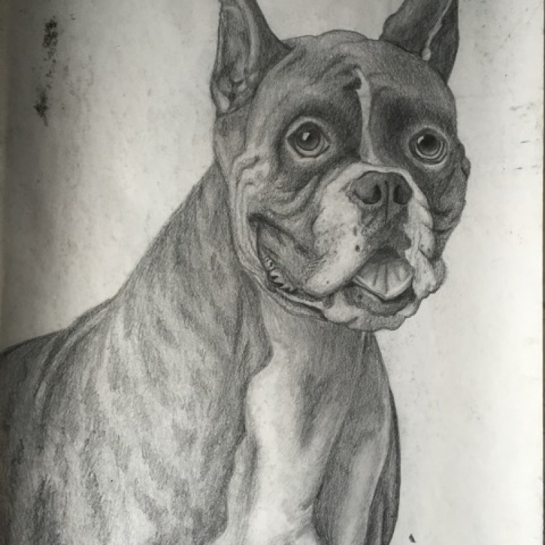 Boxer Dog Drawing/Sketch
